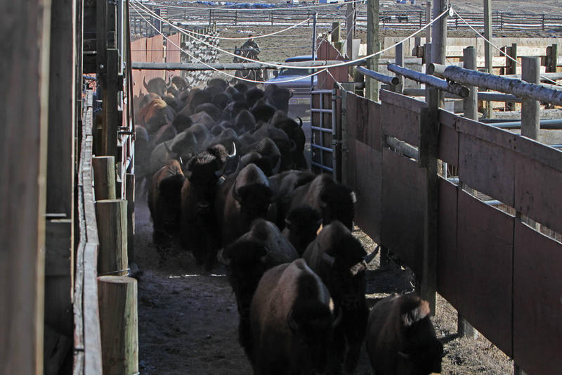 Bison at the Stephens Creek Capture facility north of Yellowstone Park in 2015.