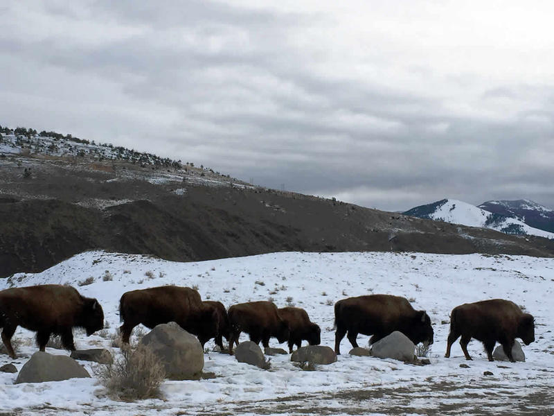 Bison on the move near Yellowstone's northern border.