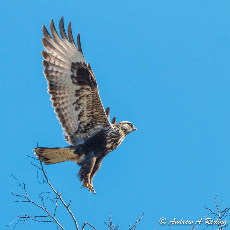 Some rough-legged hawks fly south for the winter and end up in Montana's Mission Valley.