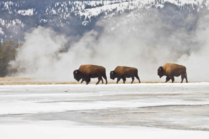 Bison in Yellowstone's Lower Geyser Basin.