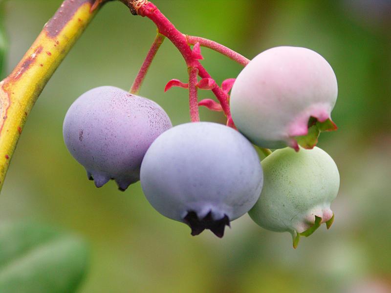 Blueberry plant at a farm in Chautauqua, NY.