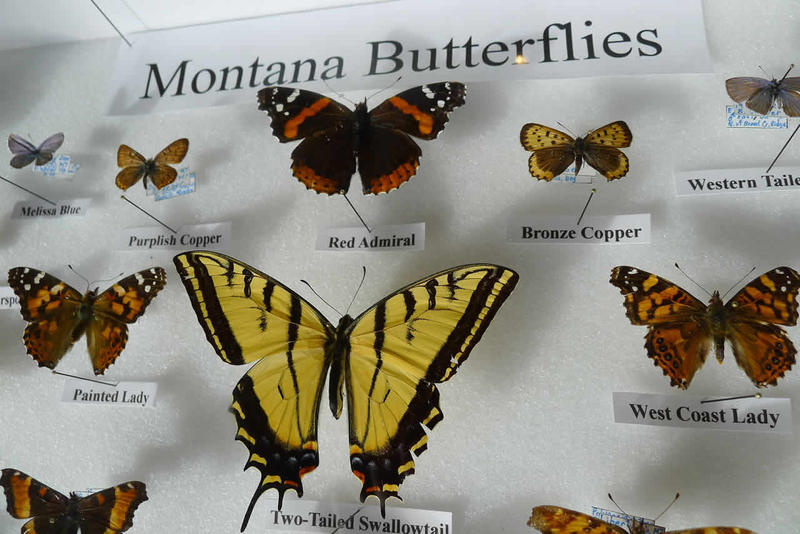 Glenn Marangelo from the Missoula Insectarium will glide in to teach us about winter butterflies; that is, butterflies that spend the winter in Montana as adults.