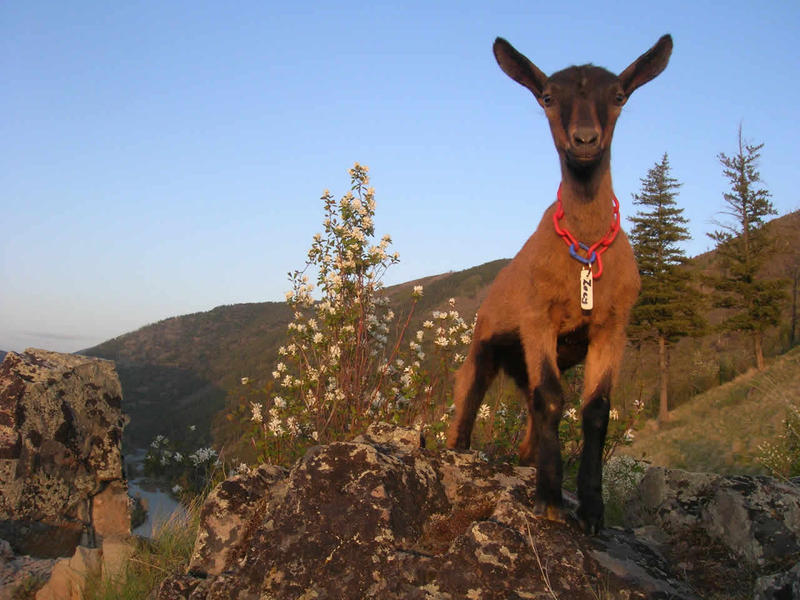 Zoey May 10: Zoey 2 ½ months old on her first trip up Mt Sentinel in May 2009