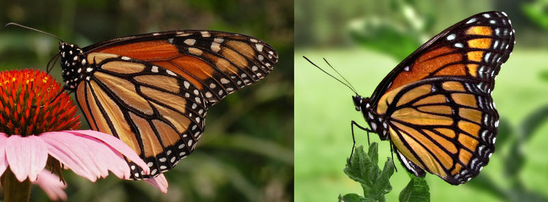 (L) Monarch butterly, (R) viceroy butterfly. Can you see the differences?
