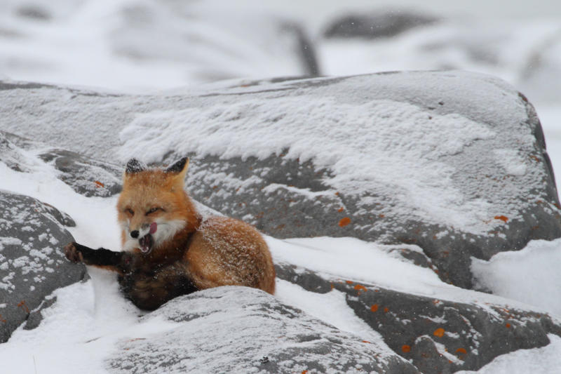 A red fox rests in the snow.