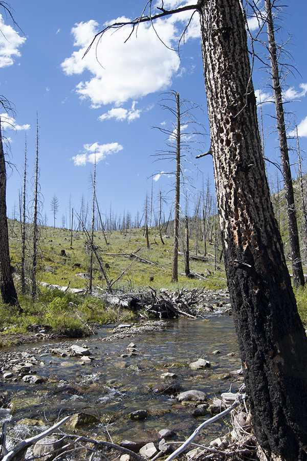 Burnt snags in western Montana