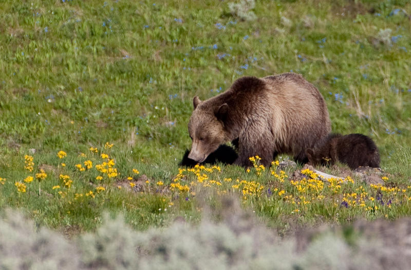 Critics Raise Concerns Over GYE Grizzly Delisting Proposal