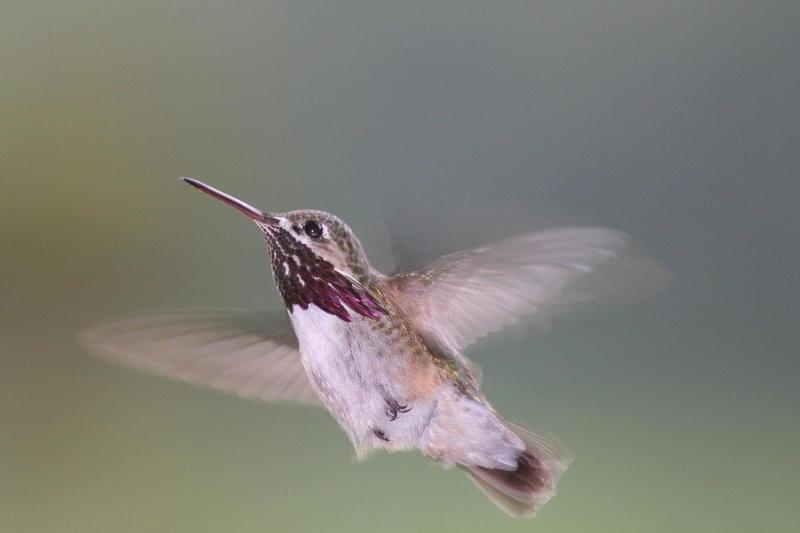 A hovering male calliope hummingbird.