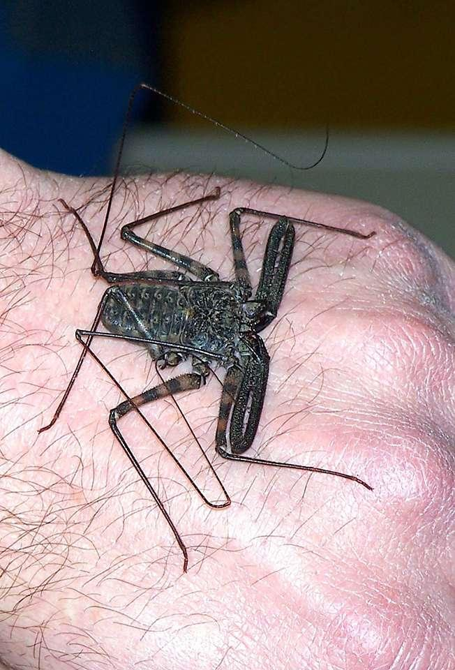 Tanzanian tail-less whip scorpion.