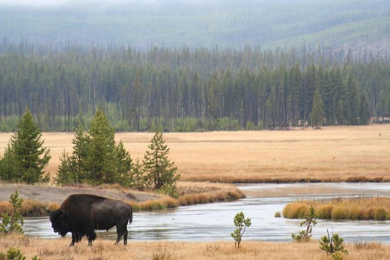 NPS is proposing to send some bison to tribal land rather than slaughter.