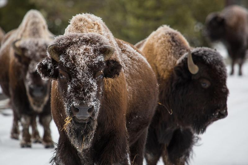 Yellowstone Park has an estimated 5,500 bison, the highest number since at least 2000.