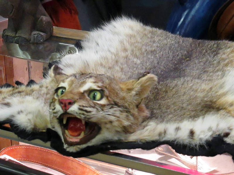 In 2014 the U.S. Fish and Wildlife Service issued tags allowing the export of 59,000 bobcat pelts from the United States.