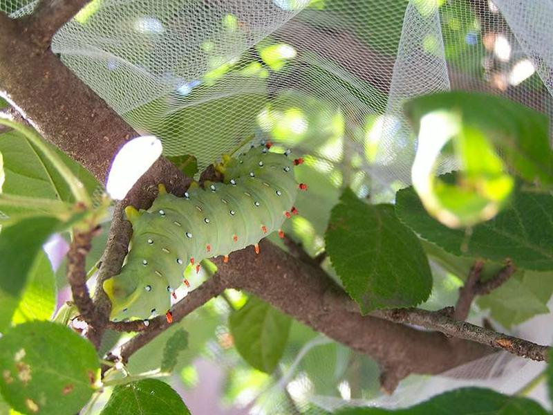 Glover's moth caterpillar.