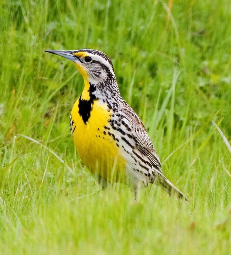 "Western meadowlark, or ""thunderchunk"".Western meadowlark"