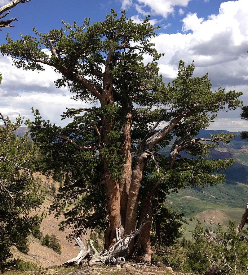 Whitebark pine.