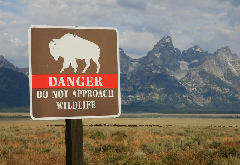 Park regulations require people stay at least 25 yards from all wildlife including bison, elk and deer and at least 100 yards from wolves and bears. Disregarding those simple rules can lead to to fines, serious injury or death.