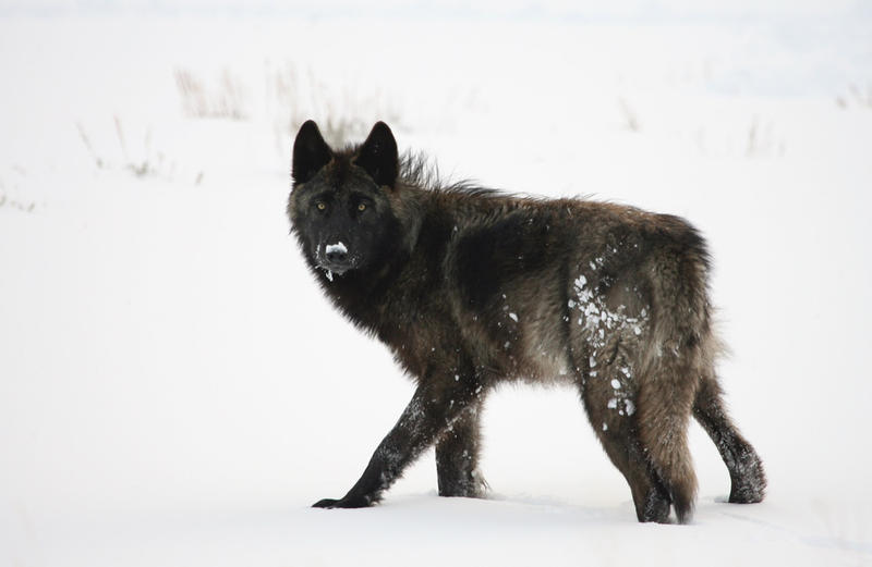 Wolf on the northern range of Yellowstone National Park.