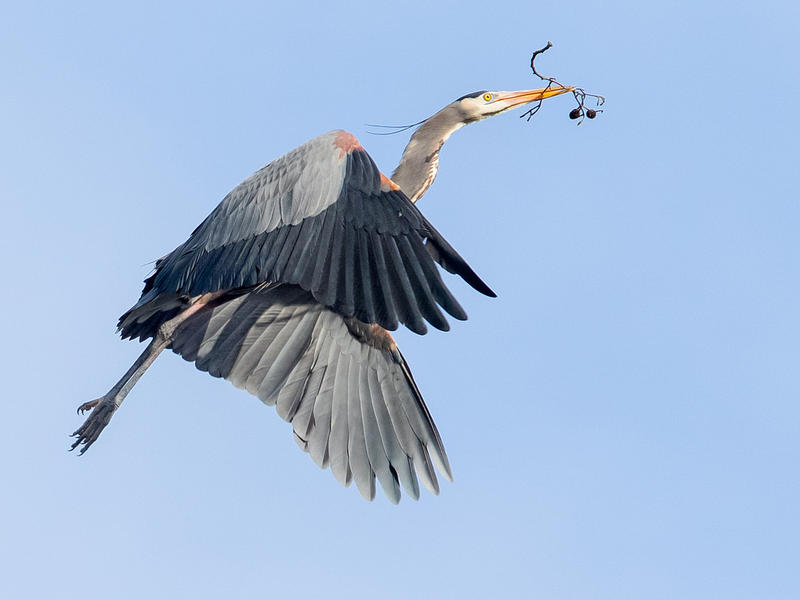 Great Blue Heron (Ardea hernias) at a Seattle rookery, flying in with a small branch for the nest.