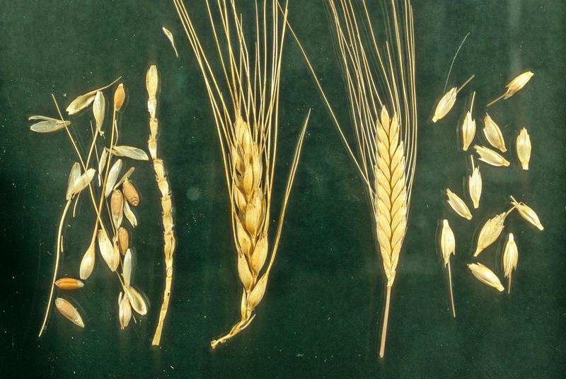 "Domesticated modern ""bread"" wheat (Triticum aestivum ) on the left, and domesticated einkorn (Triticum monococcum) on the right."