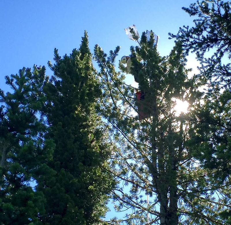 A crew member from Ronan and Associates climbs a whitebark pine tree to collect cones at Whitefish Mountain Resort.