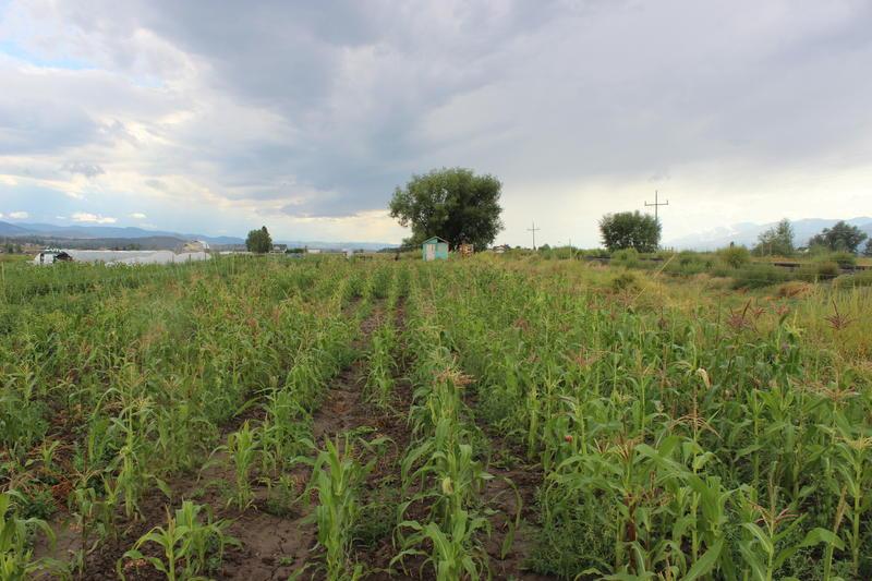 Montana farm field.