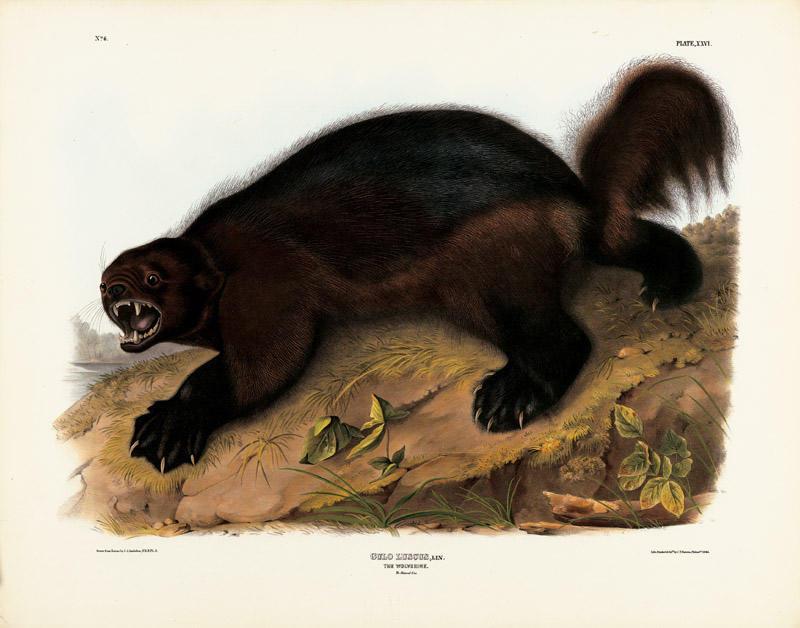 "Wolverine illustration by John James Audubon, from ""The Viviparous Quadrapeds of North America,"" 1846"