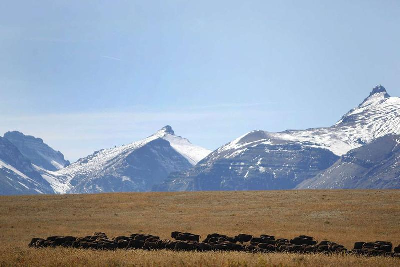 The Blackfeet Nation is working to restore bison to the species' native range, which extends beyond the boundaries of their reservation into Glacier National Park and the nearby Badger-Two Medicine area on National Forest land.
