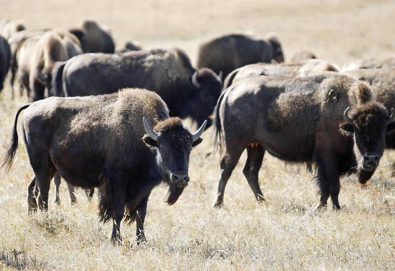 A Montana legislative committee that wants to limit Yellowstone National Park's growing herds of bison from leaving the park sent a recommendation Thursday to park officials for American Indian tribes to be allowed to hunt bison inside the park.