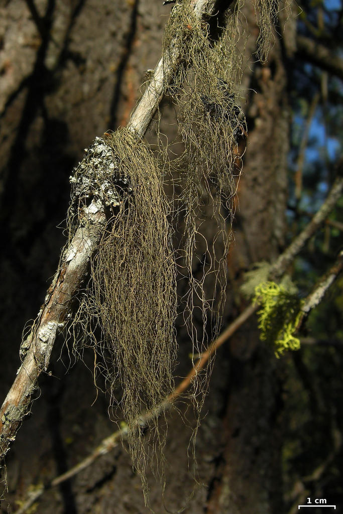 Wila (Bryoria fremontii), a lichen and important traditional food source in northwestern North America. Genetically, wila looks very similar to tortured horsehair lichen (Bryoria tortuosa), a poisonous lichen found in the same region.