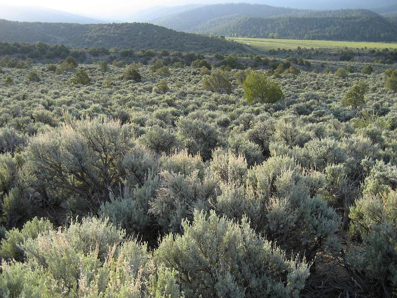Sagebrush near San Luis, CO.