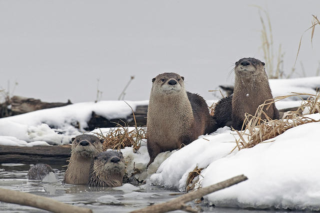 River otters in winter
