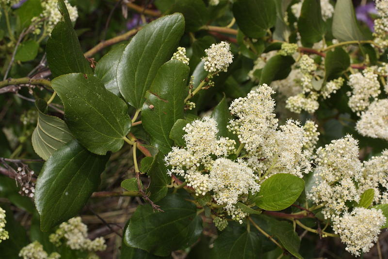 Ceanothus velutinus, a plant with more common names than zip codes in California.