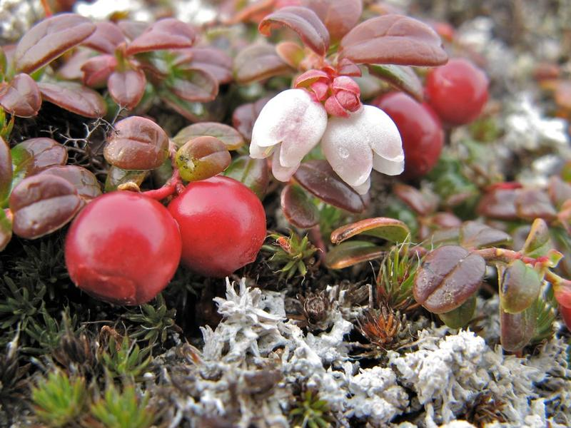 Fall cranberries, Alaska