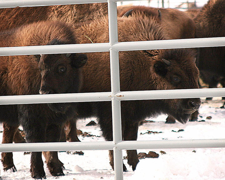 Yearling bison inside Yellowstone National Park's Stephens Creek bison trap.