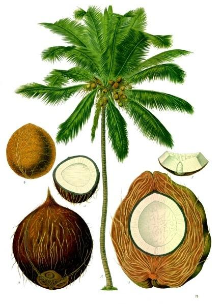 Franz Eugen Köhler's botanical drawings of the coconut palm