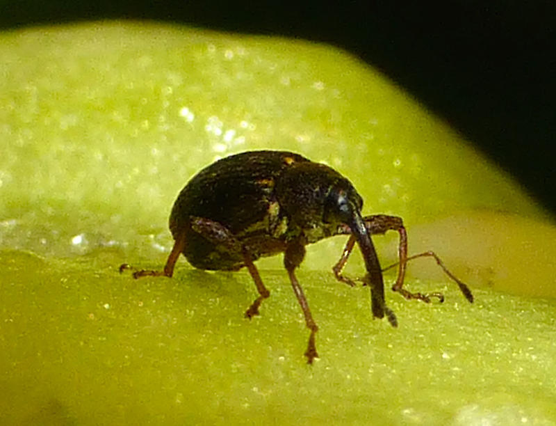 The Pepper Weevil -- an unexpected surprise living inside Glenn's green pepper.
