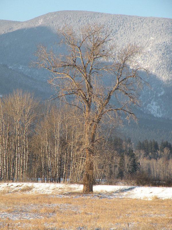 Black Cottonwood in Winter.
