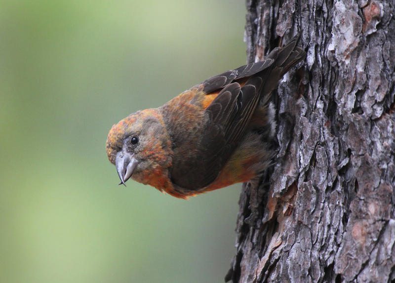 A Red Crossbill (Loxia curvirostra) at Newberry National Volcanic Monument, Oregon