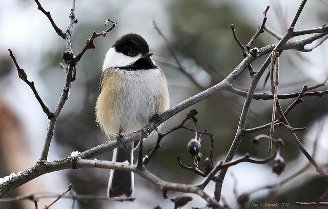 Chickadee in winter.