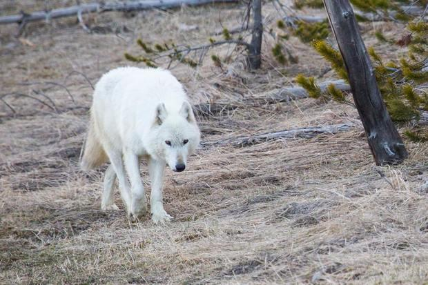 One of the Yellowstone National Park's best-known wolves had to be put down after being found injured.
