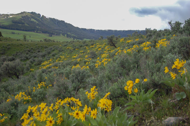 Balsamroot covers a hillside in Yellowstone National Park.