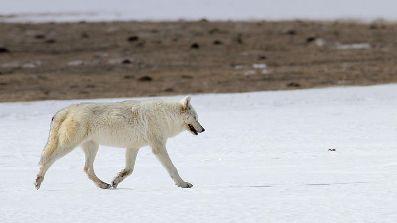 2015 photo of the female wolf from Yellowstone's Canyon pack. The wolf was found mortally wounded from a gunshot on April 11 near Gardiner, MT.