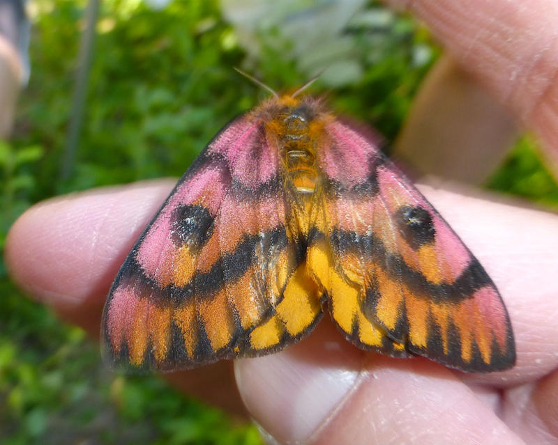 "Learn about the western sheepmoth, ""one of the most beautiful moths we can find in Montana,"" on ""Pea Green Boat."""