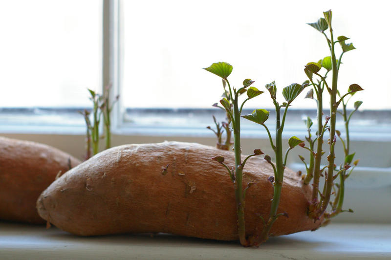 Sweet Potato Sprouting