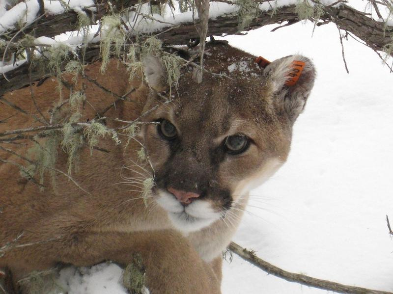 A mountain lion, also known as a cougar, puma, or catamount.