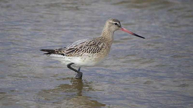 Bar-tailed godwit.