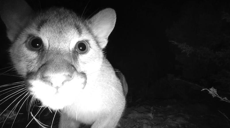 Closeup of a cougar kitten looking at camera.