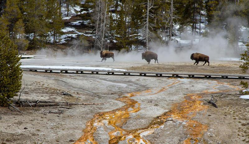 Bison moving through Yellowstone Park's Upper Geyser Basin.