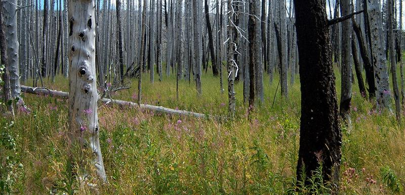 A forested area 5 years after a fire.