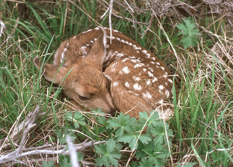 White-tailed deer fawn.
